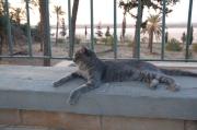 kot, jeden z kilkudziesięciu, strzegący meczetu w Larnace